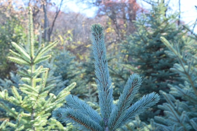 blue spruce at a christmas tree farm